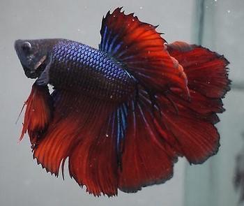 Темно-бордовый рыбка петушок