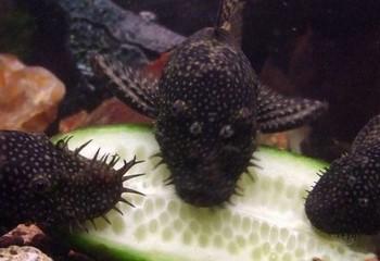 Три черных анциструса едят огурец