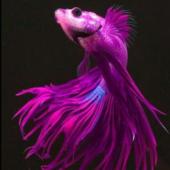 Ярко-розовый петушок в аквариуме