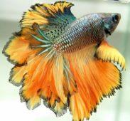 Золотистый рыбка петушок