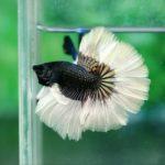 Черно-белый петушок в аквариуме