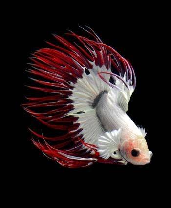 Красно-белый петушок в аквариуме