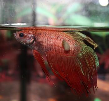 Петушок болеет в аквариуме