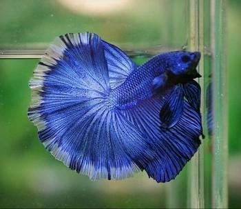 Синий петушок в аквариуме