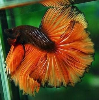 Яркий рыжий петушок в воде