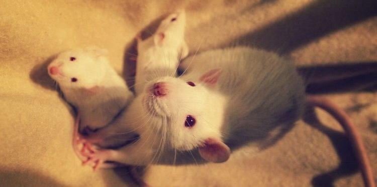 Белая крыса и крысята