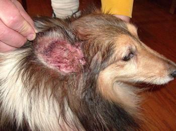 Больное красное ухо у собаки