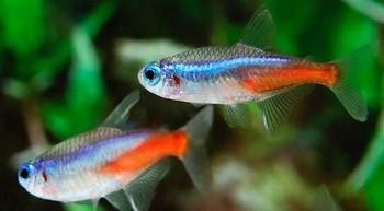 Два аквариумных неона