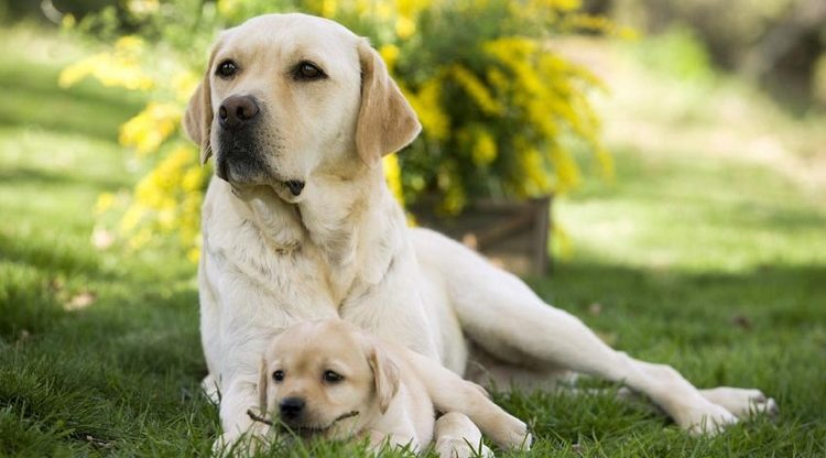 Лабрадор со щенком на травке