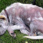 Лысеющая собака