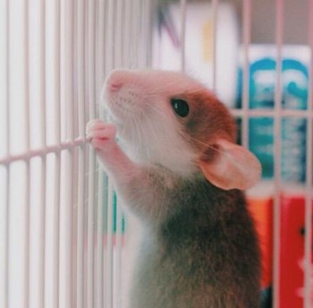 Маленький крысенок