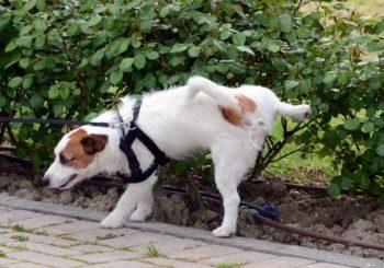 Собака ходит в туалет на улице