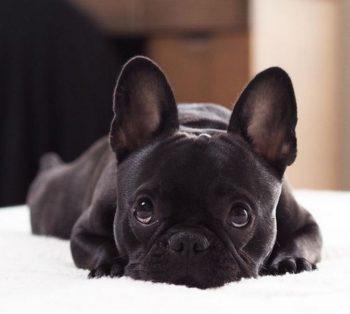 французский бульдог черный фото