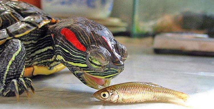 Черепаха ест рыбку