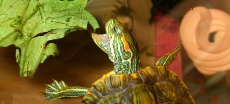 Черепаха ест салат