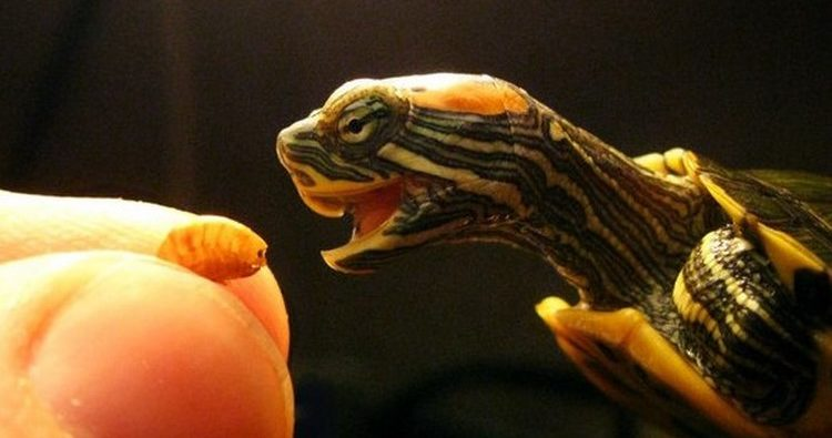 Черепаху кормят с руки