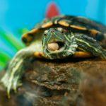 Красноухая черепах ест орех