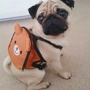Мопс с рюкзаком
