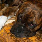 Усталая собака