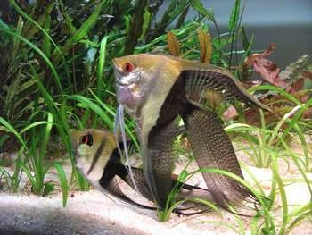 Две скалярии в аквариуме