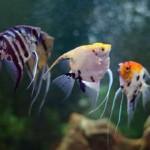 Три скалярии в аквариуме