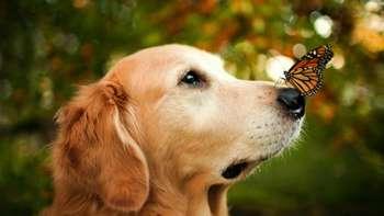 Бабочка на носу у ретривера