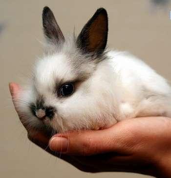 Черно-белый кролик в руках
