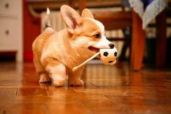 Щенок несет в зубах мячик