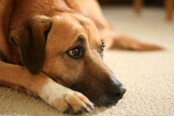 Собака грустно смотрит