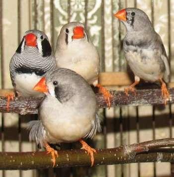 Четыре птички в клетке