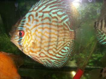 Дискус в аквариуме с другими рыбками