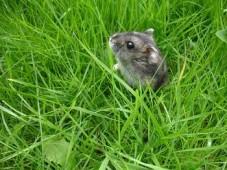 Джунгарик в зеленой траве