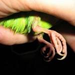 Лапки волнистого попугая