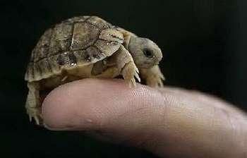 Маленькая черепашка на пальце