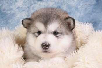 Маленький щенок аляскинского маламута