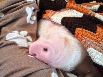 Поросенок в одеяле