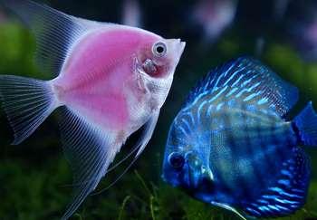 Розовая скалярия и голубой неон
