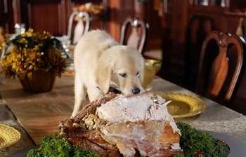 Щенок крадет со стола мясо