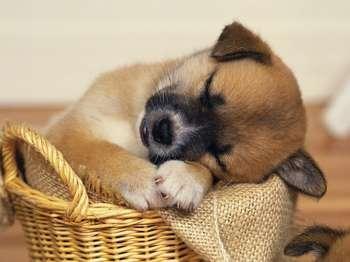 Щенок спит в корзинке