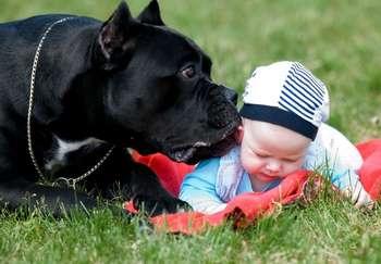 Собака кане корсо лижет ребенка