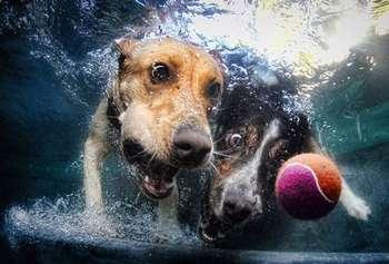 Собака нырнула за мячом