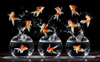 Три аквариума и прыгающие золотые рыбки