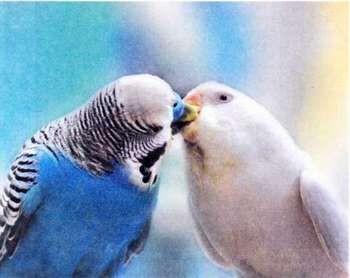 Волнистые попугач=йчики целуются