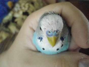 Волнистый попугай в кулаке