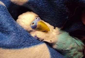 Волнистый попугай в пледе