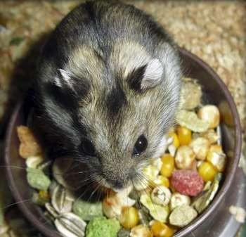 Джунгарский хомячок в миске с едой