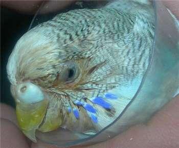 Загноение глаза у волнистого попугая