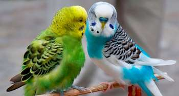 Зеленый и голубой волнистых попугая