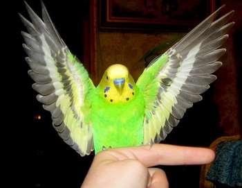 Зеленый волнистик машет крыльями
