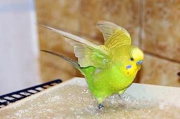 Желтый волнистик